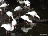 White Ibis, Florida