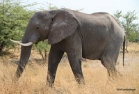Elephant on Safari