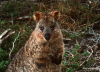 Quokka, Western Australia