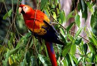 Scarlet Macaw, Peru