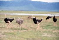 Ostriches, Tanzania