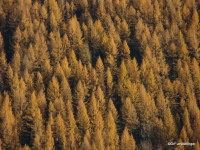 Fall Larches, B.C.