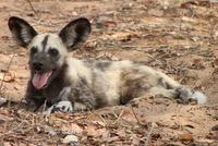 African Wild Dog, Botswana
