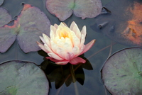 Water Lily, Koi Pond
