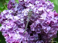 Dragonfly on Lilacs