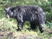 Black Bear, Banff
