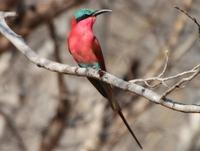 Bee-eater, Botswana