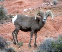 Desert Bighorn Sheep, Nevada