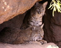Bobcats, Arizona