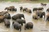 Elephants bathing in Pinnawala