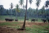 Pinnawala elephant orphanage
