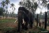 Old tusker, Pinnawala