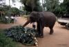 Working elephant, Pinnawala