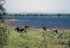 Buffalo at Parakrama Samudraya