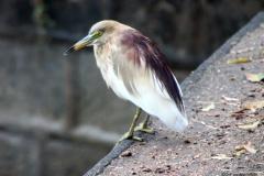 Heron, Polonnaruwa