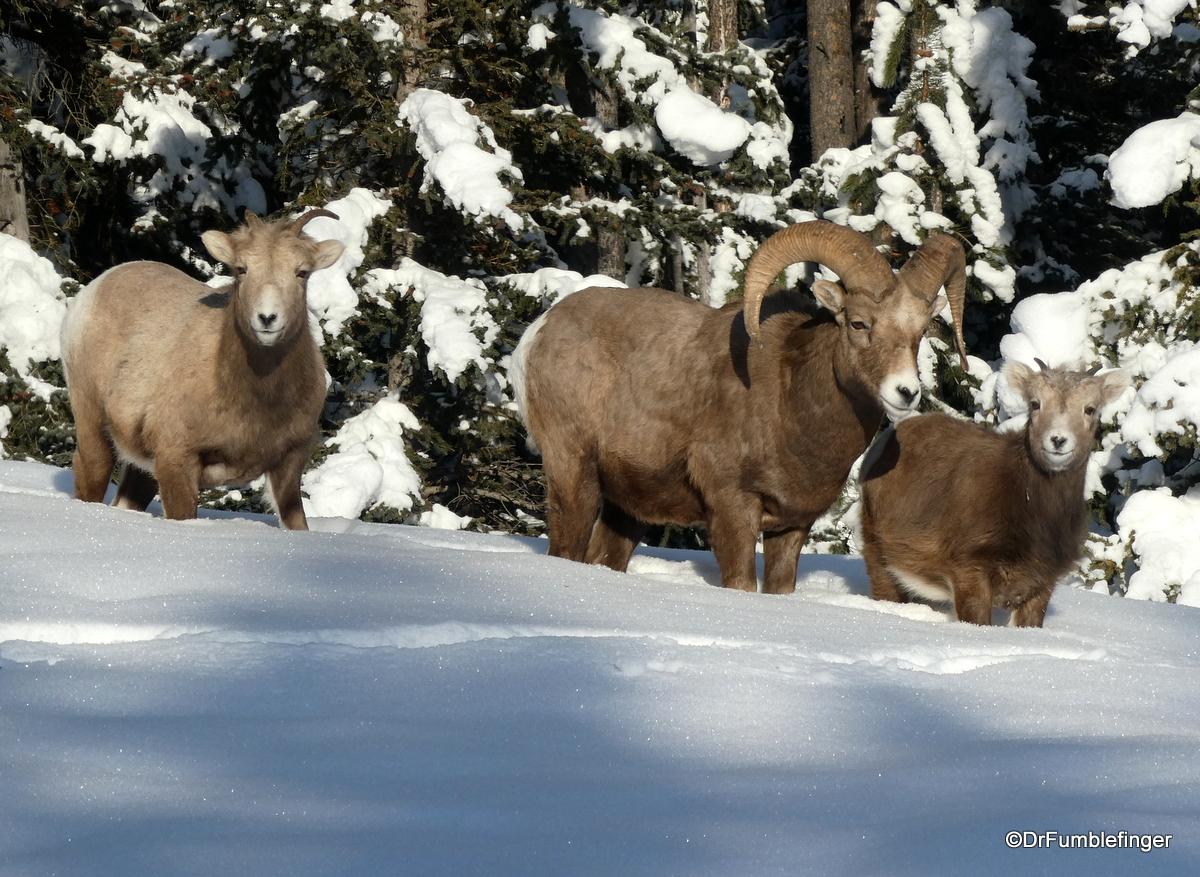 Rocky Mountain Bighorn Sheep, Banff National Park