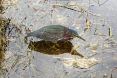 Green Heron, Everglades National Park