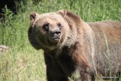 Boo the Grizzly, Golden B.C . Grizzly Bear Refuge