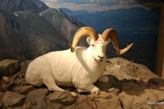 Whitehorse Airport, Dall sheep exhibit