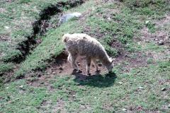 Llamas, Machu Picchu