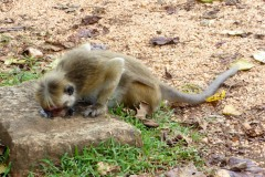 Monkey, Polonnaruwa