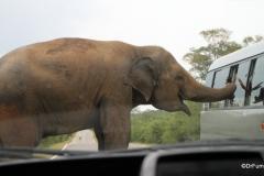 Elephant, Southern Sri Lanka