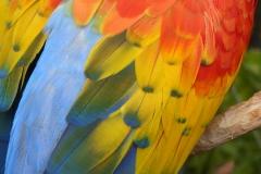 Scarlet Macaw, Florida