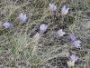 Prairie crocuses, Calgary