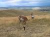 Pronghorn antelope, Montana