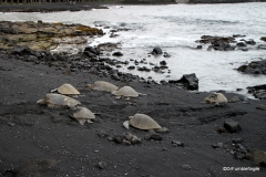 Green Sea Turtles at Punalu'u Black Sand Beach