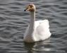 Reykjavik, Whopper Swan
