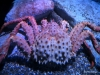 Red Alaskan King Crab