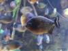 Rd-bellied Piranha