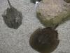 052-ripleys-aquarium-of-canada-horshoe-crab-07-2014