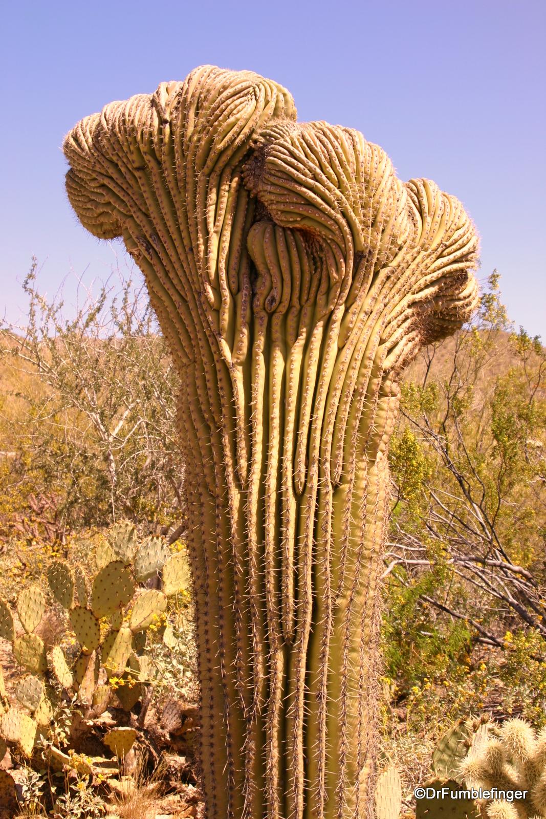 Rare variant of a saguaro cactus