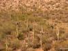 Saguaro Forest, near Tucson, Arizona
