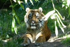 Sumatran Tigers,  San Diego Zoo Safari Park