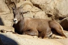 Desert Bighorn Sheep, San Diego Zoo Safari Park