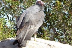 California Condor, San Diego Zoo Safari Park
