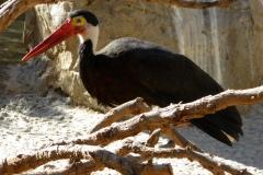 Storms Stork, San Diego Zoo Safari Park