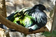 Nicobar Pigeon, San Diego Zoo Safari Park