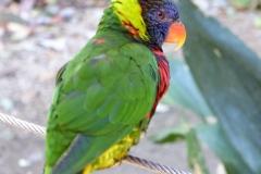 Rainbow Lorikeet, San Diego Zoo Safari Park