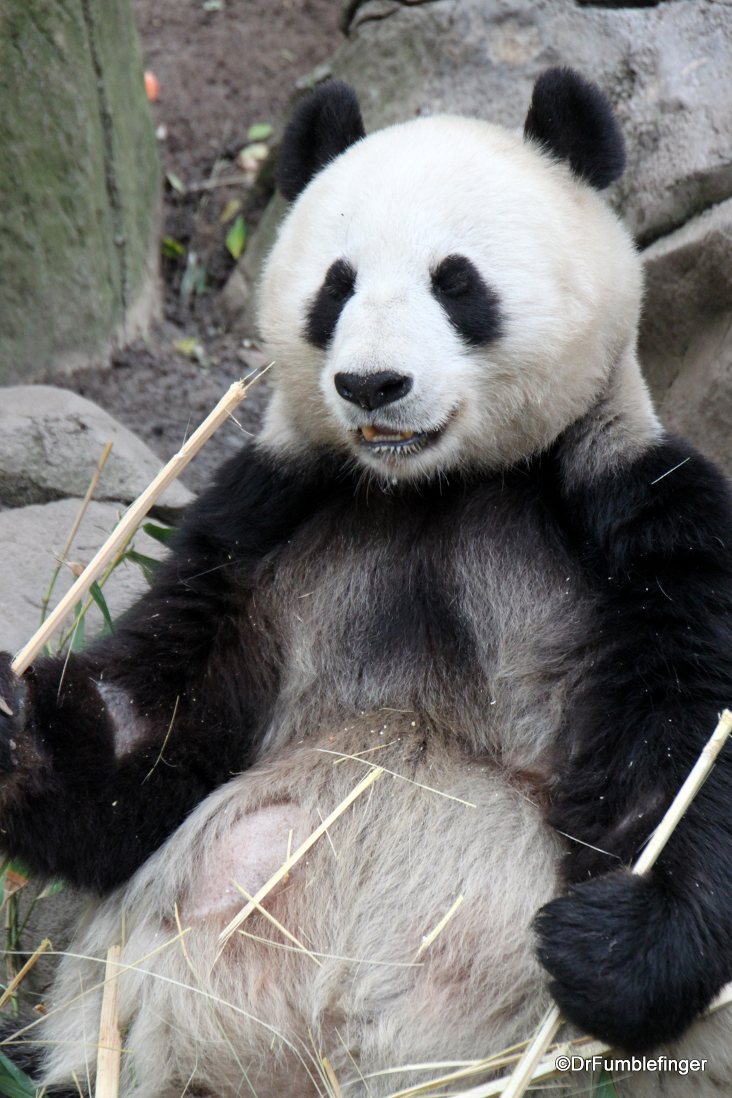 San Diego Zoo, Giant Panda