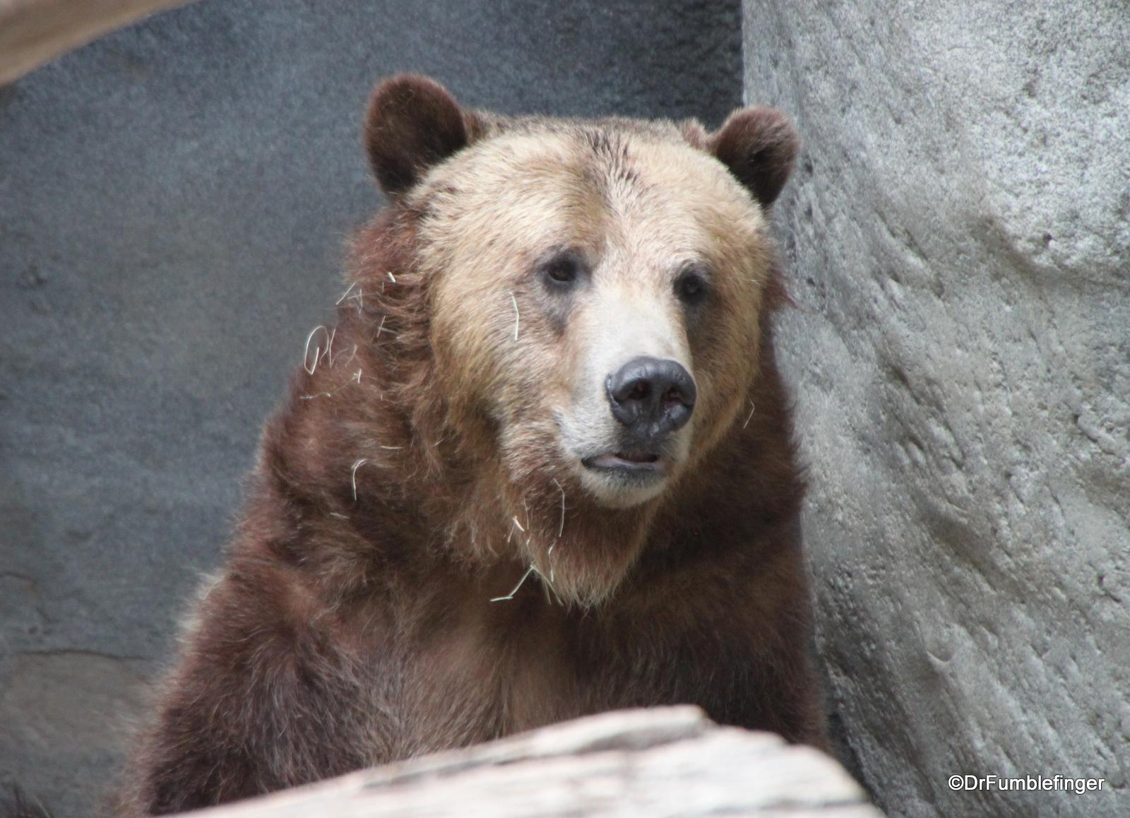 San Diego Zoo, Grizzly bear