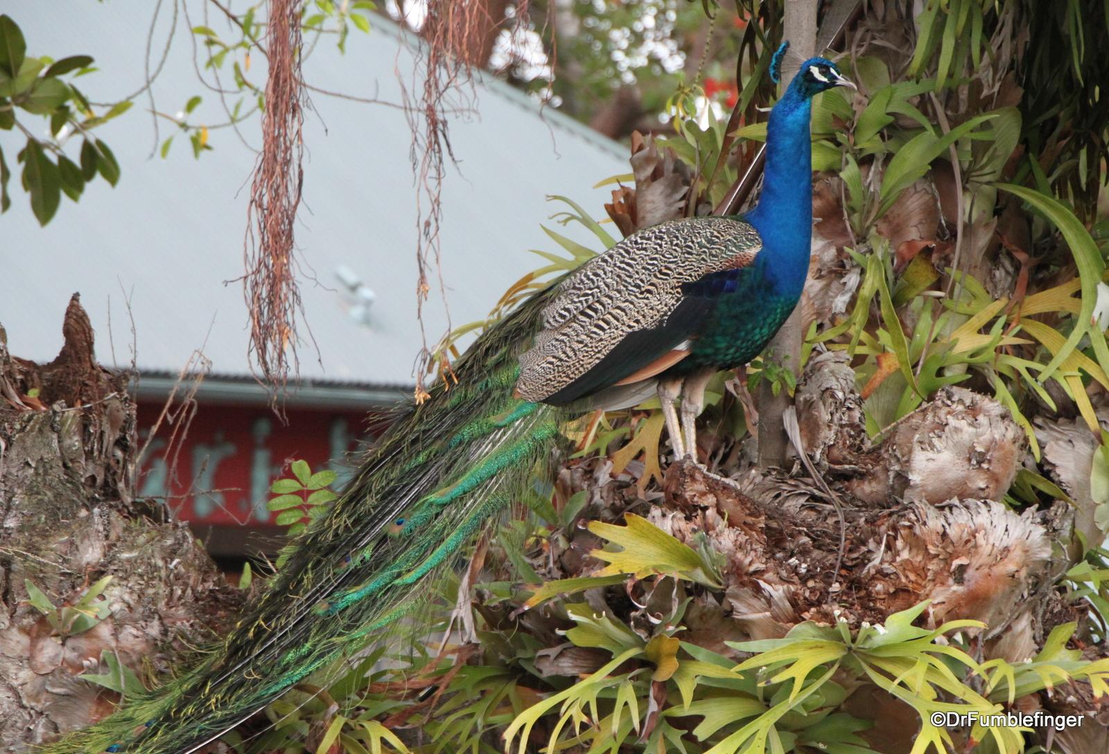 San Diego Zoo, Peacock
