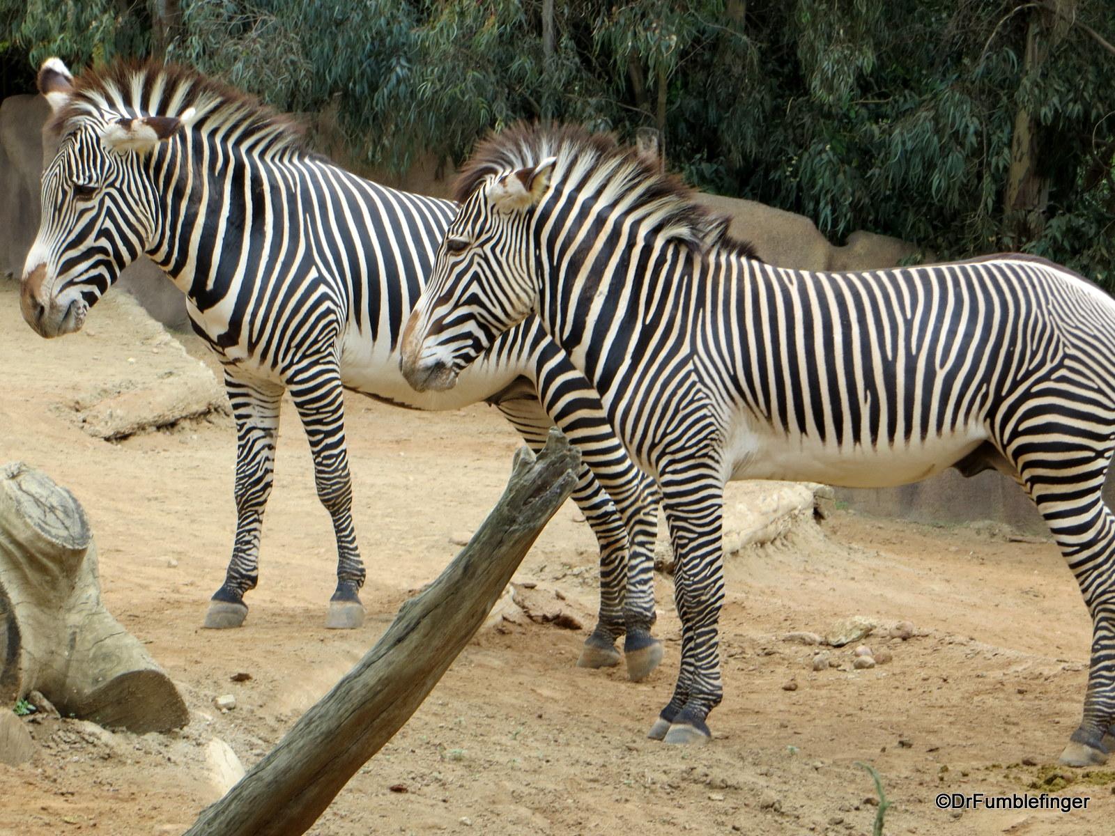 San Diego Zoo, Zebra