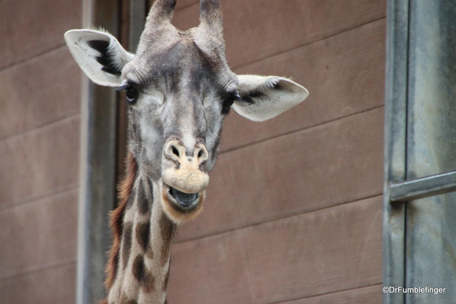 San Diego Zoo, Giraffe