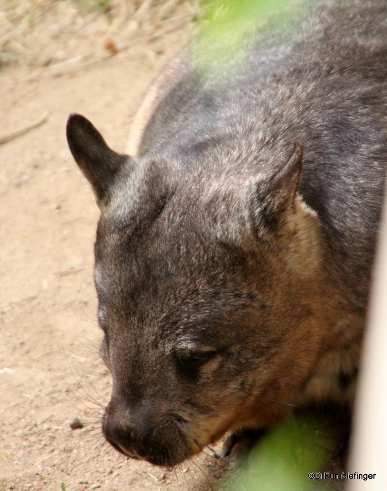 San Diego Zoo, Wombat