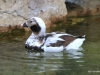 San Diego Zoo, Duck