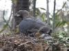 San Diego Zoo, Crowned Eagle